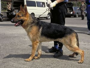 警察犬としての「シェパード」の写真画像