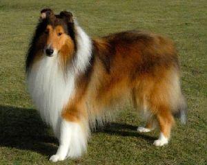 最近ではとんと見なくなった「コリー犬」の写真画像
