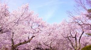 満開の桜の写真画像